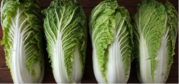 Celery Cabbage (Chinese Cabbage) By Wholesale - For Export